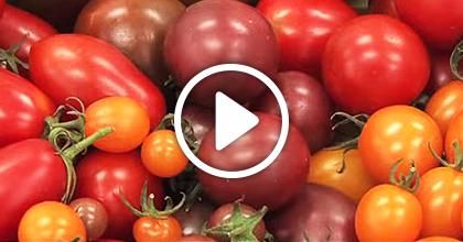 トマトの省力化栽培を普及させる