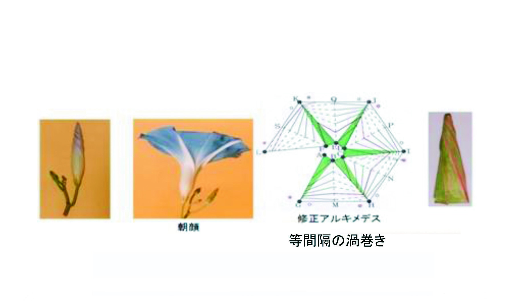 図2-1 アサガオのつぼみのモデル