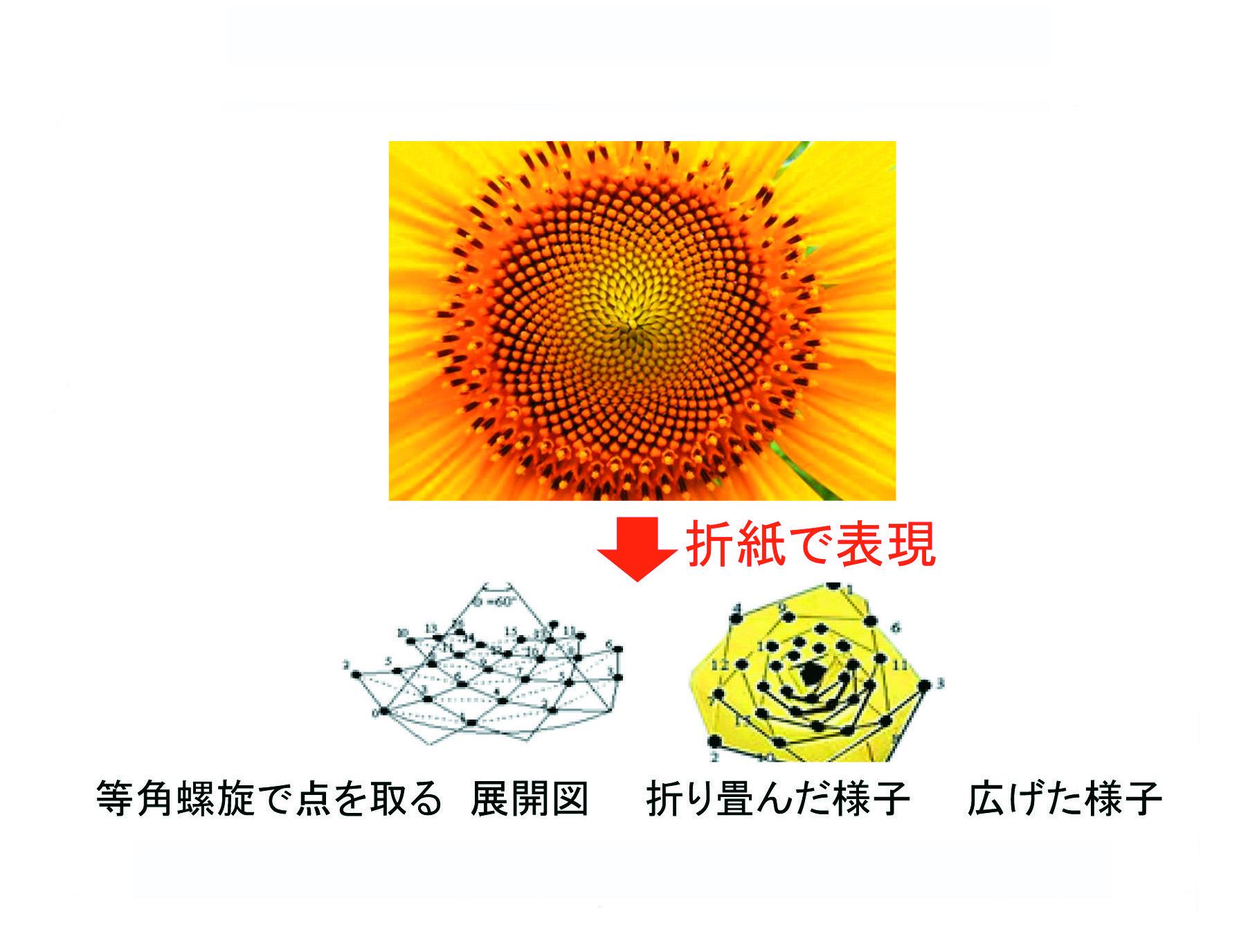 図2-2 ヒマワリの種の配列のモデル