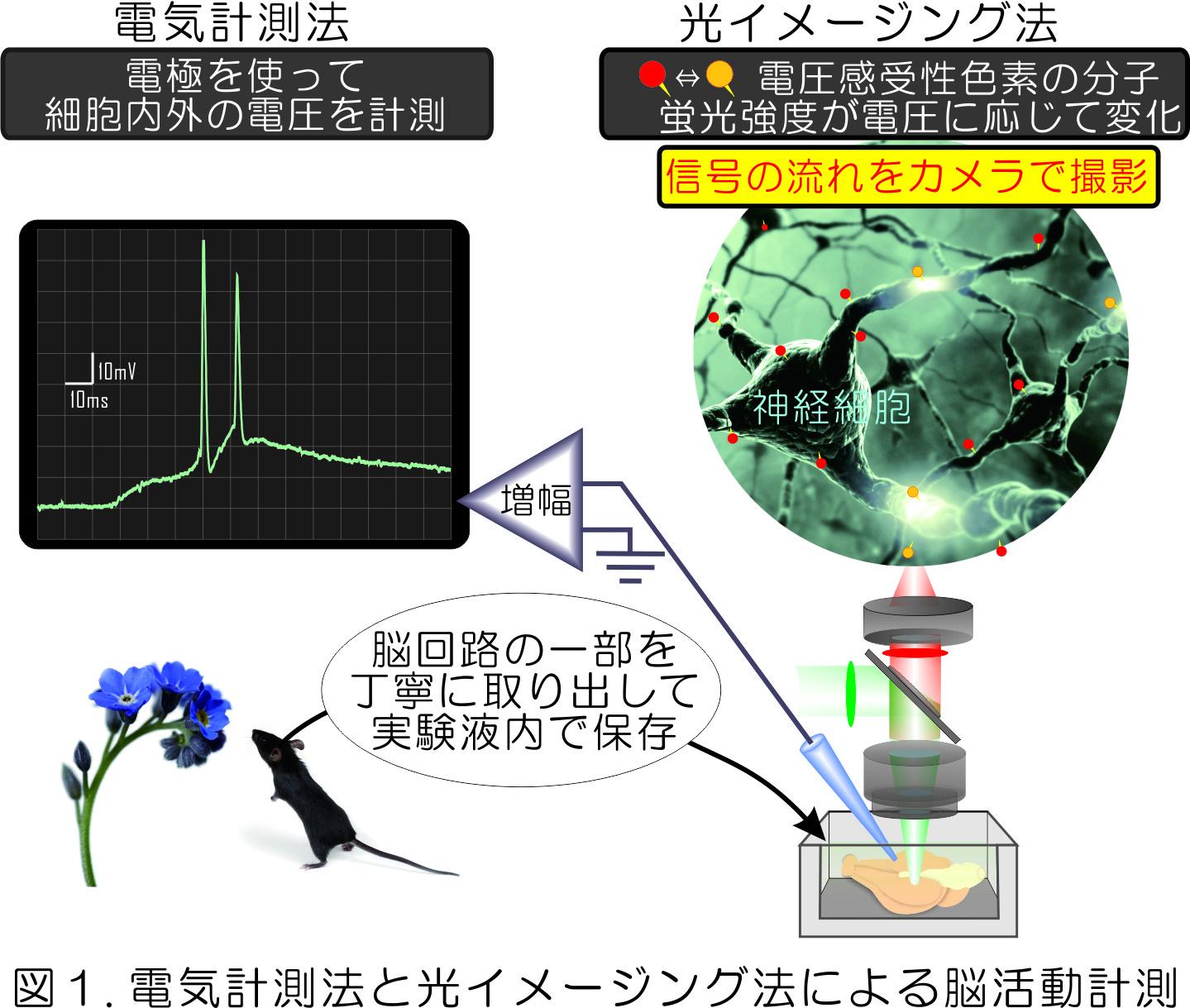 図1.電気計測法と光イメージング法による脳活動計測